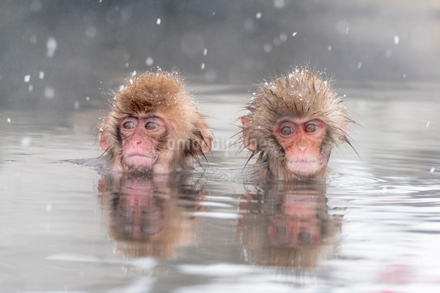 温泉に入るスノーモンキーの写真素材 [FYI01657791]
