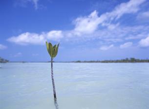 マングローブの新芽の写真素材 [FYI01657832]