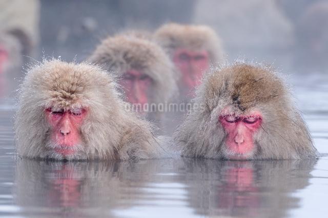 温泉に入るスノーモンキーの写真素材 [FYI01657844]