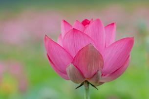 古代蓮の花の写真素材 [FYI01657863]