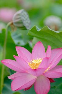 古代蓮の花の写真素材 [FYI01657905]