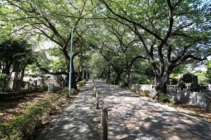 青山霊園(青山墓地)の写真素材 [FYI01657997]