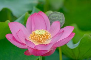 古代蓮の花の写真素材 [FYI01658100]