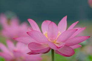 古代蓮の花の写真素材 [FYI01658239]