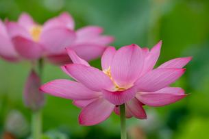 古代蓮の花の写真素材 [FYI01658241]