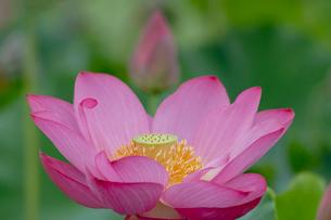 古代蓮の花の写真素材 [FYI01658310]