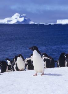 アデリーペンギンの写真素材 [FYI01658883]