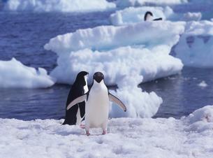 アデリーペンギンの写真素材 [FYI01659082]