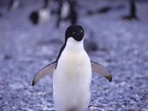 アデリーペンギンの写真素材 [FYI01659182]