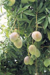 木に成るマンゴーの写真素材 [FYI01659400]