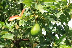 木に成るアボカドの写真素材 [FYI01660913]