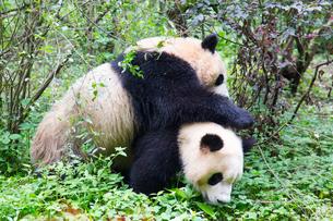 2頭でじゃれあうジャイアントパンダの写真素材 [FYI01664024]