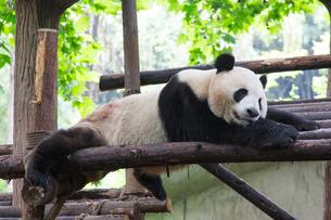 暑さにだらけるジャイアントパンダの写真素材 [FYI01664200]