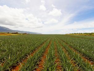 ハワイの風景 パイナップル畑の写真素材 [FYI01665100]