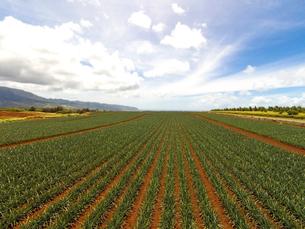 ハワイの風景 パイナップル畑の写真素材 [FYI01665212]