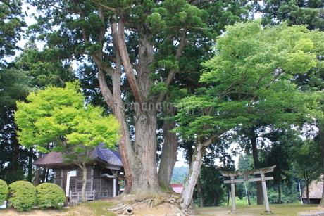 荻ノ島松尾神社の二本杉の写真素材 [FYI01667955]