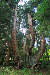 将軍杉の写真素材 [FYI01668803]