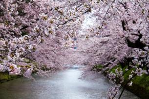 弘前の満開の桜を望むの写真素材 [FYI01668884]
