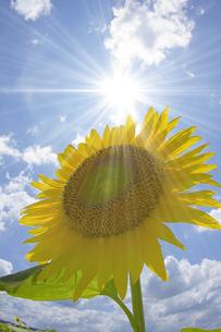 太陽とひまわりの写真素材 [FYI01668928]