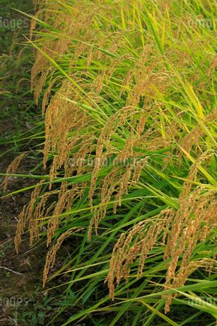 稲の写真素材 [FYI01669010]