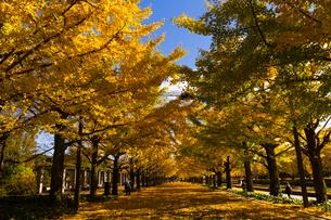 昭和記念公園のイチョウ並木の写真素材 [FYI01669013]