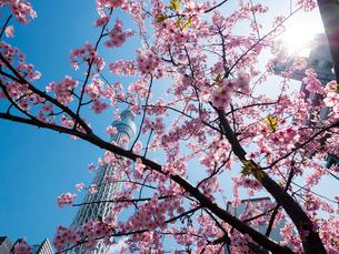 東京スカイツリーと河津桜の写真素材 [FYI01669193]