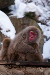 猿の親子の写真素材 [FYI01669279]