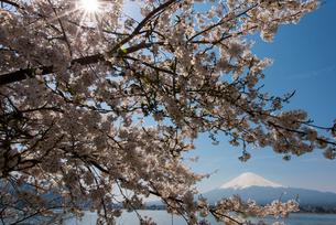 富士山と桜の写真素材 [FYI01669301]