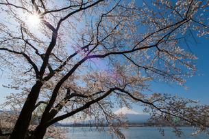 富士山と桜の写真素材 [FYI01669321]
