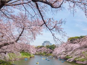 千鳥ヶ淵の桜の写真素材 [FYI01669686]