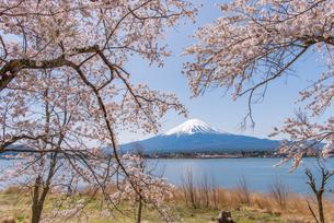 河口湖の富士山と桜の写真素材 [FYI01669999]