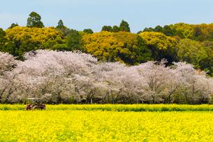 桜と菜の花の写真素材 [FYI01670191]