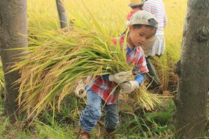 稲を収穫する男の子の写真素材 [FYI01670424]