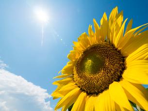 太陽とひまわりのアップの写真素材 [FYI01670593]