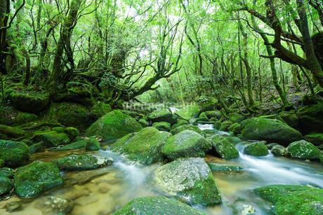白谷雲水峡の木々と苔と川の写真素材 [FYI01670800]