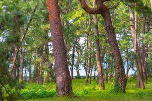 敦賀の気比の松原の写真素材 [FYI01670808]