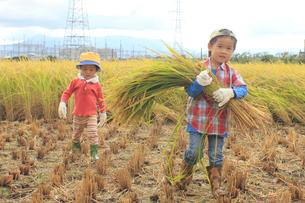 稲を収穫する男の子の写真素材 [FYI01670855]