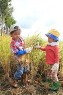 稲を収穫する男の子の写真素材 [FYI01670885]