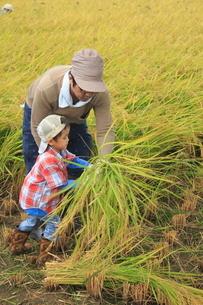 稲を収穫する男の子の写真素材 [FYI01670888]