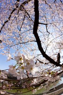 満開の桜のアップ 縦位置の写真素材 [FYI01671268]