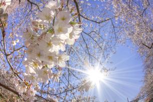 魚眼レンズで撮る満開の桜と太陽の写真素材 [FYI01671270]