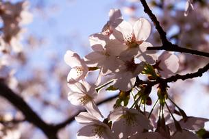 太陽光で透き通る桜のアップの写真素材 [FYI01671272]