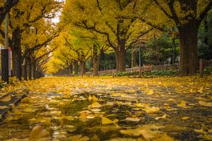 神宮外苑のイチョウ並木の写真素材 [FYI01671773]