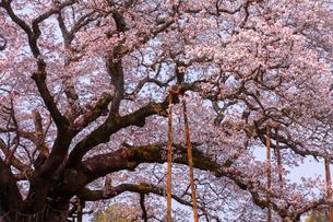満開の吉高の大桜の写真素材 [FYI01671810]