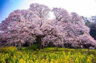 満開の吉高の大桜の写真素材 [FYI01671846]