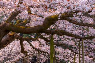 満開の吉高の大桜の写真素材 [FYI01671914]