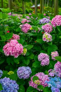 あじさいが咲く三室戸寺境内の写真素材 [FYI01672023]