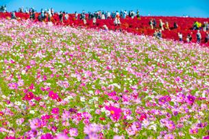 コキアを見にたくさんの人が訪れる国営ひたち海浜公園の写真素材 [FYI01672615]