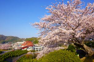 音戸大橋と桜の写真素材 [FYI01675149]
