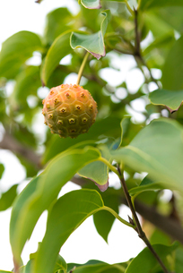 ヤマボウシの実(半熟・1個)の写真素材 [FYI01678821]